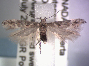 (Gnorimoschema reichli - POHL-10-00124)  @14 [ ] Copyright (2007) Jean-Francois Landry Canadian National Collection