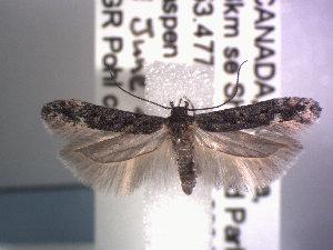 (Gnorimoschema alaskense - POHL-10-00159)  @15 [ ] Copyright (2007) Jean-Francois Landry Canadian National Collection