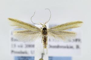 (Coleophora JFL013 - JD5899)  @15 [ ] Copyright (2007) Jean-Francois Landry Canadian National Collection