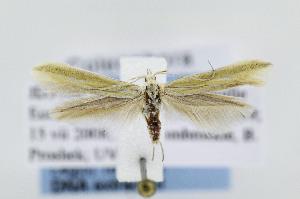 (Coleophora JFL013 - JD5900)  @15 [ ] Copyright (2007) Jean-Francois Landry Canadian National Collection