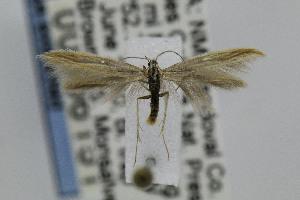 (Coleophora JFL212 - USNMENT00656151)  @13 [ ] Copyright (2007) Jean-Francois Landry Canadian National Collection