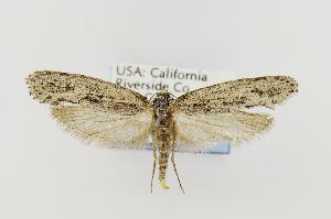 (Amorophaga cryptophori - USNMENT00656761)  @14 [ ] Copyright (2011) Jean-Francois Landry Canadian National Collection