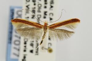 (Caloptilia alnicolella - USNMENT00657077)  @14 [ ] Copyright (2011) Jean-Francois Landry Canadian National Collection
