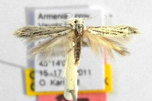 (Coleophora maculata - CNCLEP00111721)  @13 [ ] CreativeCommons - Attribution Non-Commercial Share-Alike (2014) Giorgio Baldizzone Research Collection of Giorgio Baldizzone