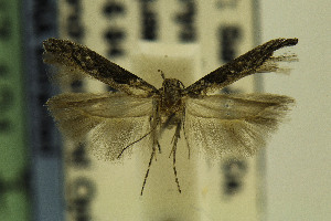 (Gnorimoschema VNG071 - CSUENT0048595)  @13 [ ] Copyright (2014) Jean-Francois Landry Canadian National Collection
