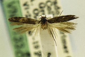 (Gnorimoschema nr. nordlandicolella - CSUENT0048607)  @11 [ ] Copyright (2014) Jean-Francois Landry Canadian National Collection