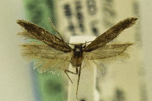 (Gnorimoschema VNG070 - CSUENT0048617)  @13 [ ] Copyright (2014) Jean-Francois Landry Canadian National Collection