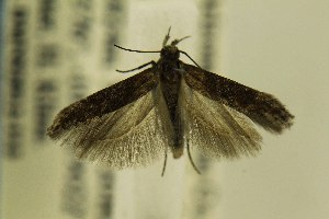 (Gnorimoschema VNG050 - DMNS ZE.49325)  @13 [ ] Copyright (2014) Jean-Francois Landry Canadian National Collection
