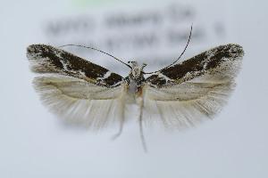 (Gnorimoschema compsomorpha - MEM19397)  @11 [ ] Copyright (2013) Jean-Francois Landry Canadian National Collection