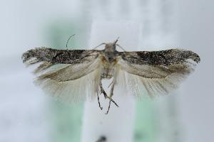 (Gnorimoschema elatior - MGCL-164069)  @13 [ ] Copyright (2013) Jean-Francois Landry Canadian National Collection