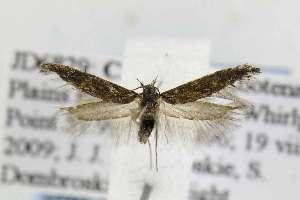 (Gnorimoschema obscurior - JD6829)  @14 [ ] Copyright (2011) Jean-Francois Landry Canadian National Collection