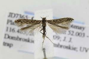 (Gnorimoschema VNG015 - JD7365)  @14 [ ] Copyright (2011) Jean-Francois Landry Canadian National Collection