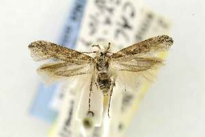 (Gnorimoschema crypticum - EMEC331004)  @13 [ ] Copyright (2012) Unspecified Essig Museum of Entomology