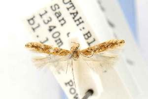 (Gnorimoschema generale - EMEC331012)  @11 [ ] Copyright (2012) Unspecified Essig Museum of Entomology