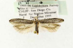 (Gnorimoschema powelli - EMEC331020)  @13 [ ] Copyright (2012) Unspecified Essig Museum of Entomology