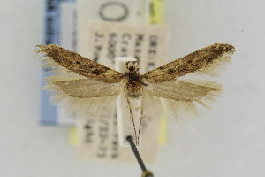 (Gnorimoschema siskiouense - EMEC342300)  @13 [ ] Copyright (2013) Jean-Francois Landry Canadian National Collection