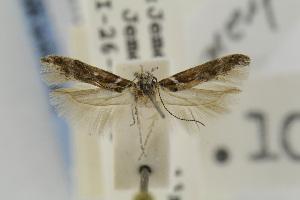 (Gnorimoschema penetrans - EMEC342301)  @11 [ ] Copyright (2013) Jean-Francois Landry Canadian National Collection