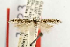(Gnorimoschema curiosum - EMEC80269)  @11 [ ] Copyright (2012) Unspecified Essig Museum of Entomology