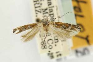(Gnorimoschema interrogationum - EMEC80277)  @11 [ ] Copyright (2012) Unspecified Essig Museum of Entomology