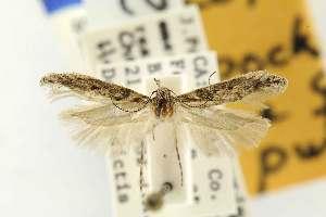 (Gnorimoschema pocketosum - EMEC80285)  @11 [ ] Copyright (2012) Unspecified Essig Museum of Entomology