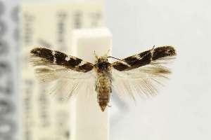 (Gnorimoschema lipatiella - USNMENT00657609)  @11 [ ] Copyright (2012) Unspecified The Smithsonian Institution