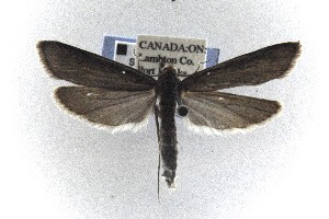 (Donacaula sordidella - CNCLEP00121791)  @14 [ ] CreativeCommons - Attribution Non-Commercial Share-Alike (2015) Jean-Francois Landry Canadian National Collection of Insects, Arachnids and Nematodes