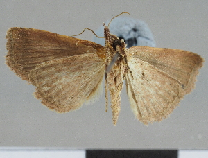 (Maxera nova - CCDB-08662-C05)  @11 [ ] CreativeCommons - Attribution Non-Commercial Share-Alike (2014) Muséum national d'Histoire naturelle Muséum national d'Histoire naturelle