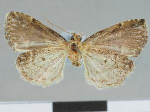 (Eustrotia bernica - CCDB-08662-E12)  @11 [ ] CreativeCommons - Attribution Non-Commercial Share-Alike (2014) Muséum national d'Histoire naturelle Muséum national d'Histoire naturelle
