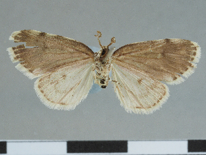 (Aemene punctatissima - CCDB-08662-G12)  @11 [ ] CreativeCommons - Attribution Non-Commercial Share-Alike (2014) Muséum national d'Histoire naturelle Muséum national d'Histoire naturelle
