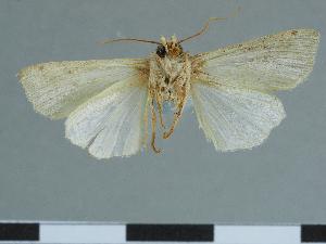 (Leucania teruworkae - CCDB-09453-F02)  @11 [ ] CreativeCommons - Attribution Non-Commercial Share-Alike (2014) Muséum national d'Histoire naturelle Muséum national d'Histoire naturelle
