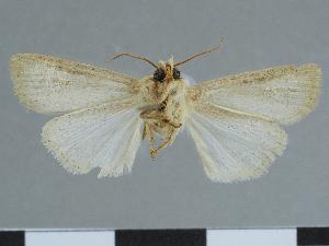 (Mythimna johannipetri - CCDB-09453-F03)  @11 [ ] CreativeCommons - Attribution Non-Commercial Share-Alike (2014) Muséum national d'Histoire naturelle Muséum national d'Histoire naturelle