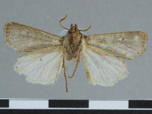 (Euxoa semyenensis - CCDB-09453-F06)  @11 [ ] CreativeCommons - Attribution Non-Commercial Share-Alike (2014) Muséum national d'Histoire naturelle Muséum national d'Histoire naturelle