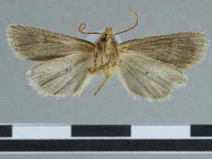 (Leucania fasilidasi - CCDB-09453-F07)  @11 [ ] CreativeCommons - Attribution Non-Commercial Share-Alike (2014) Muséum national d'Histoire naturelle Muséum national d'Histoire naturelle