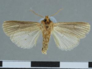 (Leucania cyprium - CCDB-09453-F09)  @11 [ ] CreativeCommons - Attribution Non-Commercial Share-Alike (2014) Muséum national d'Histoire naturelle Muséum national d'Histoire naturelle