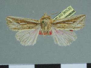 (Leucania argyrina - CCDB-09453-F11)  @11 [ ] CreativeCommons - Attribution Non-Commercial Share-Alike (2014) Muséum national d'Histoire naturelle Muséum national d'Histoire naturelle