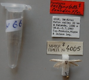 (Coleophora loxodon - ANIKIN-2011-0066)  @12 [ ] CreativeCommons - Attribution Non-Commercial (2011) Saratov State University Saratov State University