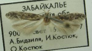 (Gnorimoschema mongolorum - BIDZ-00014)  @11 [ ] Copyright (2012) Aleksei Bidzilya University of Kiev, Ukraine