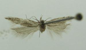 (Scrobipalpa pr. japonica - BIDZ-00185)  @11 [ ] Copyright (2012) Aleksei Bidzilya University of Kiev, Ukraine