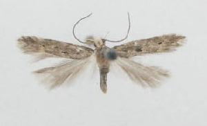 (Eulamprotes nigromaculella - ZMKU-00079)  @12 [ ] Copyright (2012) Aleksei Bidzilya University of Kiev, Ukraine