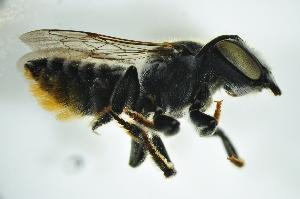 (Megachile sp. C - BAV002)  @14 [ ] CreativeCommons - Attribution Non-Commercial Share-Alike (2012) Scott Groom Flinders University