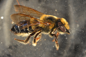 (Megachile sp. B - BBP001)  @14 [ ] CreativeCommons - Attribution Non-Commercial Share-Alike (2012) Scott Groom Flinders University