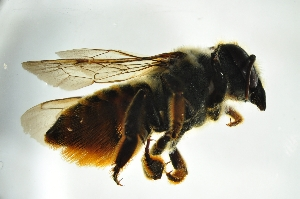 (Megachile sp. F - BBW005)  @13 [ ] CreativeCommons - Attribution Non-Commercial Share-Alike (2012) Scott Groom Flinders University