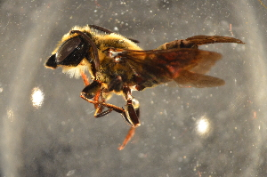 (Megachile sp. J - BBZ013)  @14 [ ] CreativeCommons - Attribution Non-Commercial Share-Alike (2012) Scott Groom Flinders University