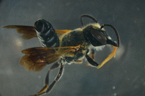 (Megachile sp. 2_samoa - MSAPB_CAD007)  @14 [ ] CreativeCommons - Attribution Non-Commercial Share-Alike (2011) Scott Groom Flinders University