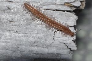 (Diplopoda - BC ZSM MYR 00326)  @15 [ ] CreativeCommons - Attribution Non-Commercial Share-Alike (2010) Joerg Spelda SNSB, Zoologische Staatssammlung Muenchen
