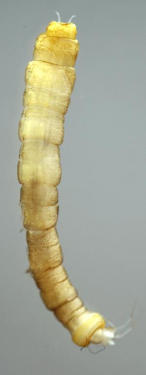 (TipulGn1 - INB0004344672)  @13 [ ] Copyright (2012) M. Zumbado Instituto Nacional de Biodiversidad