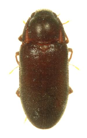 (Dryopidae - INB0004358351)  @13 [ ] Copyright (2013) M. Zumbado Instituto Nacional de Biodiversidad