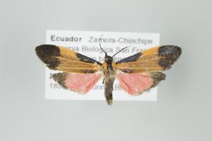 (Lycomorphodes nr. flavipars - Arcec 30062)  @14 [ ] Copyright (2009) Gunnar Brehm Institut fuer Spezielle Zoologie und Evolutionsbiologie, Friedrich-Schiller Universitat Jena