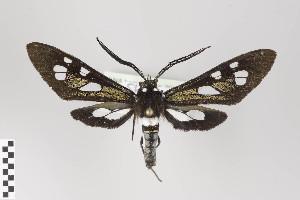 (Phaeo cephalena - Arcec 30085)  @15 [ ] Copyright (2011) Gunnar Brehm Institut fuer Spezielle Zoologie und Evolutionsbiologie, Friedrich-Schiller Universitat Jena