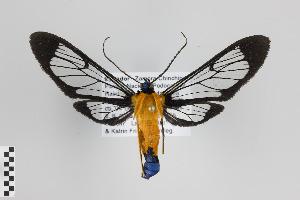 (Sarosa innotata - Arcec 30193)  @14 [ ] Copyright (2013) Gunnar Brehm Institut fuer Spezielle Zoologie und Evolutionsbiologie, Friedrich-Schiller Universität Jena